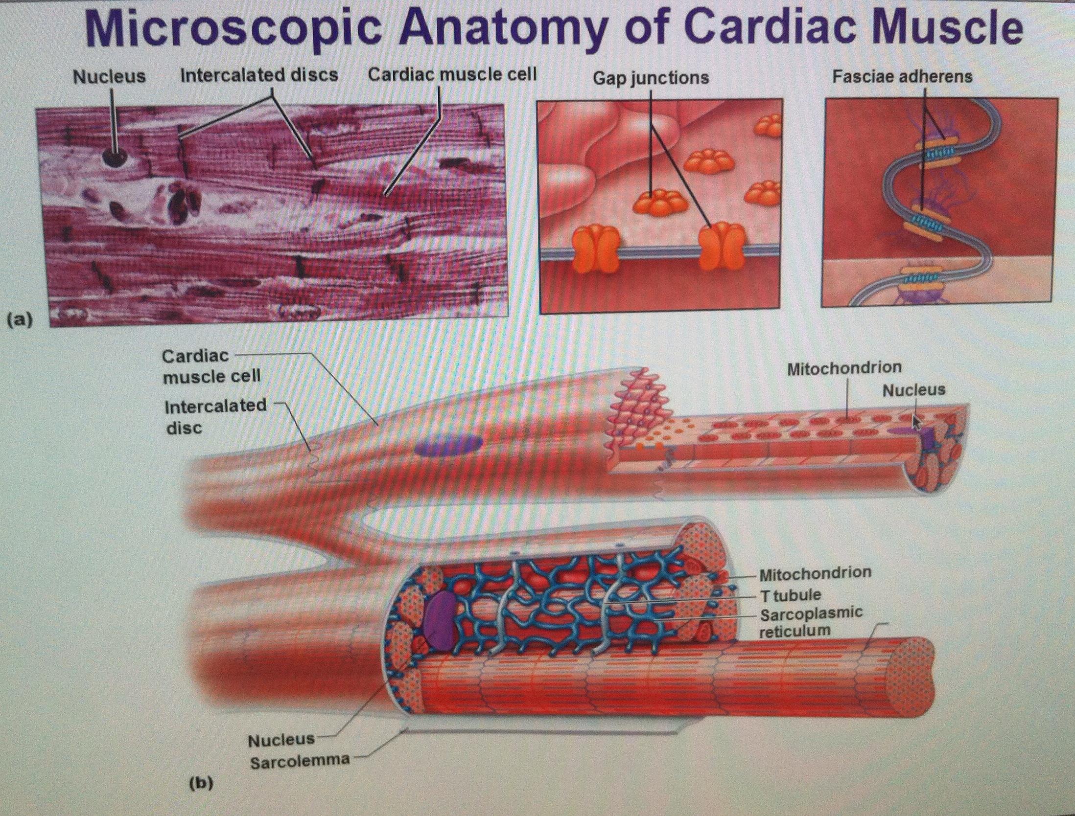 Microscopic anatomy of cardiac muscle – OCR A Level Biology